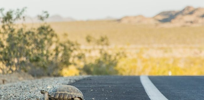 A Tortoise Crosses a Hot and Trafficked Road. The Need to Restore the Environment is Here